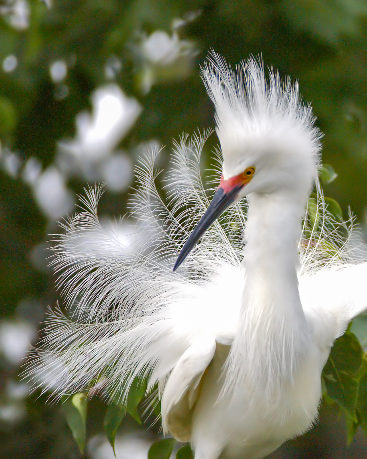 snowy egret during mating season at Rip's Rookery on Jefferson Island in New Iberia, Louisiana