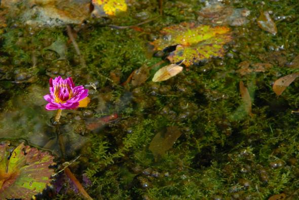 Water Hyacinth Bloom at Rip Van Winkle Gardens - Courtesy of Iberia Parish CVB