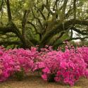 Azaleas with Live Oak Avery Island - Courtesy of Jungle Gardens